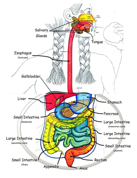 labeled digestive system diagram diagrams of digestive system diagram site
