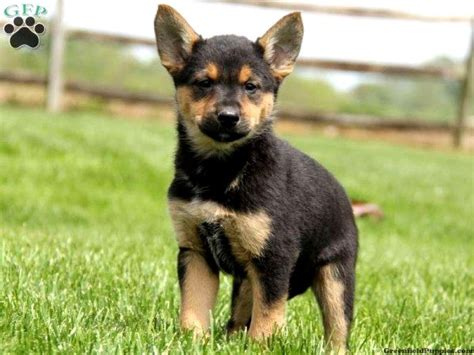 german shepherd mix with rottweiler puppies german shepherd rottweiler mix size photo happy heaven