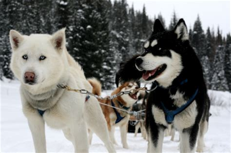 Of Thrones Ukuran L siberian husky sled breed foto gambar