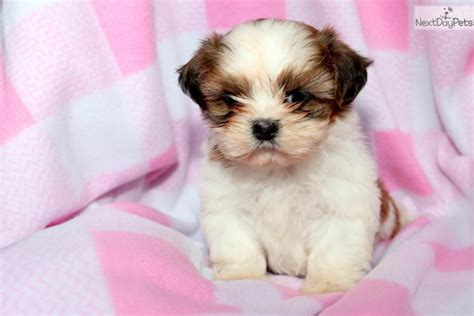 prices of shih tzu puppies shih tzu puppy for sale near lancaster pennsylvania d6824a1e 0771