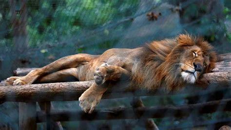 imagenes de leones en zoologico fotos mueren de hambre animales en zool 243 gico en venezuela