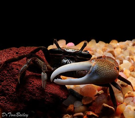 images  freshwater crabs  pinterest home