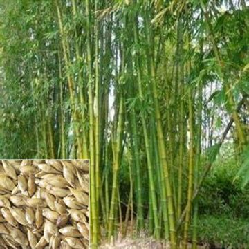 Dr Kevin Sterculia Foetida Yellow forest trees supplier wholesale forest trees manufacturer