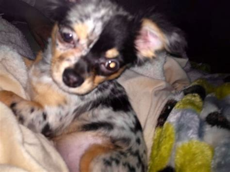 blue merle chihuahua puppies best 25 merle chihuahua ideas on blue merle