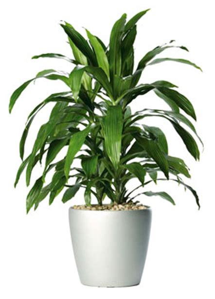 Dracaena Fragrans | plants flowers 187 cornstalk dracaena