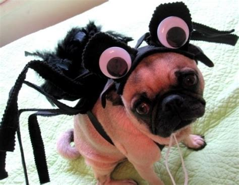 spider pug costume 1000 images about pug pins on chihuahuas pug and puppys