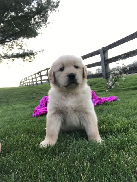 amish puppies for sale puppies golden retriever breeder shreve ohio