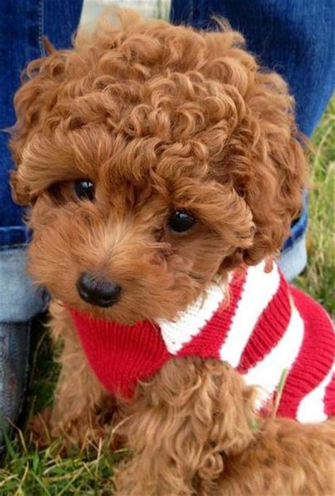 curly hair puppy curly hair puppy picture of poodle jpg