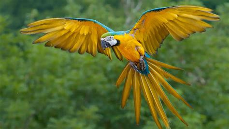 gold wallpaper with birds blue and gold macaw in flight beautiful birds wallpaper