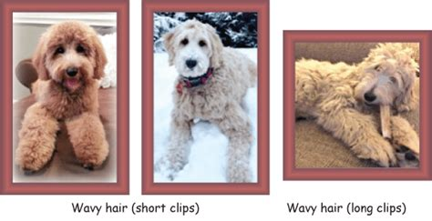 doodle hair types coat types and textures goldendoodle acres