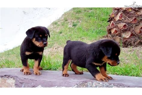 purebred german rottweiler price meet a rottweiler puppy for sale for 750 purebred rottweiler puppies