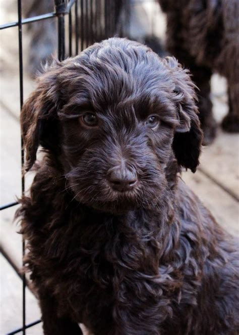 brown labradoodle puppy canadian chocolate labradoodles a home based labradoodle breeder of chocolate