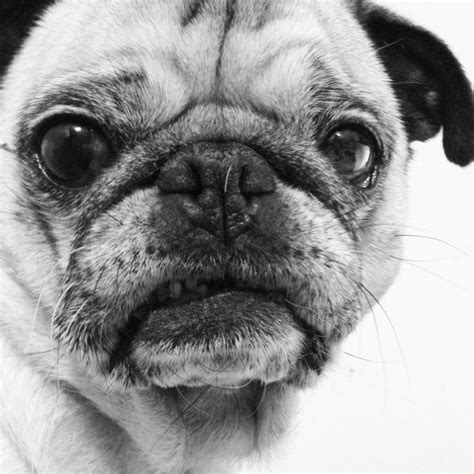 grumpy pug 17 best images about grumpy cat and friends on grumpy cats and