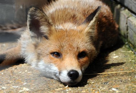 is a fox a adopt a fox sponsor the rescue of uk wildlife wildlife aid foundation