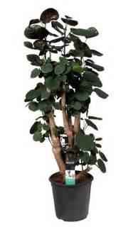 Best Patio Plants by Polyscias Fabian Florastore