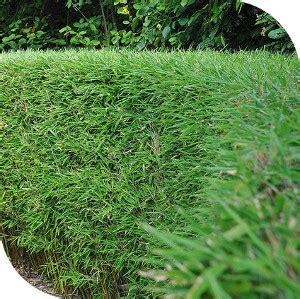 Taille Bambou Fargesia by Haie De Bambou Fargesia Non Tra 231 Ant Leparadisdujardin Fr