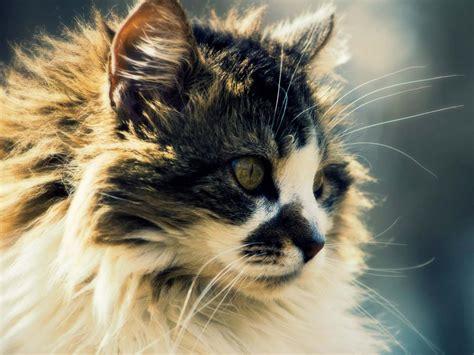 cat wallpaper for mac kitten hd cat wallpapers mac download cuteanimals