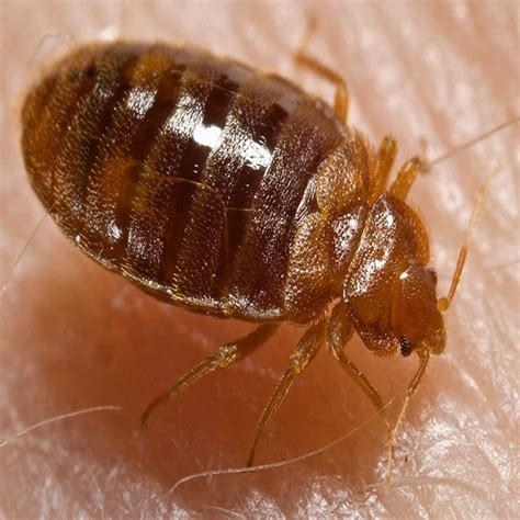 10 myths and misconceptions about bed bugs