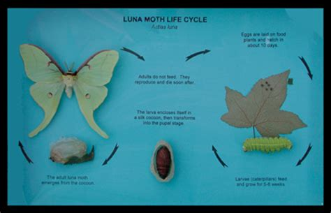 Pantry Moth Cycle by Moth Cycle