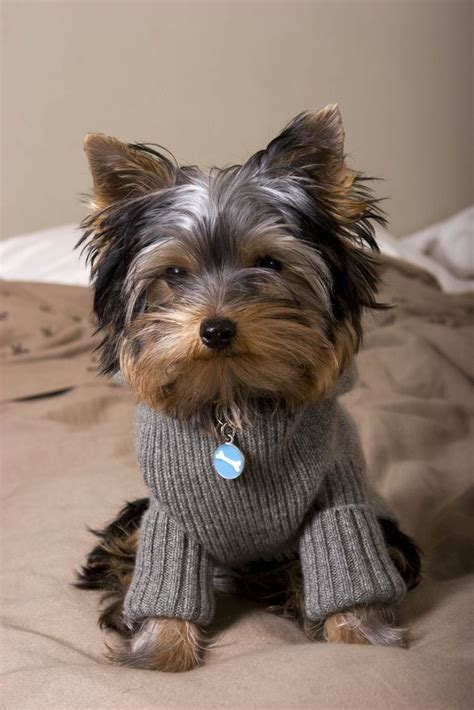 yorkie photoshoot 3156 best yorkies images on yorkies baby puppies and terriers