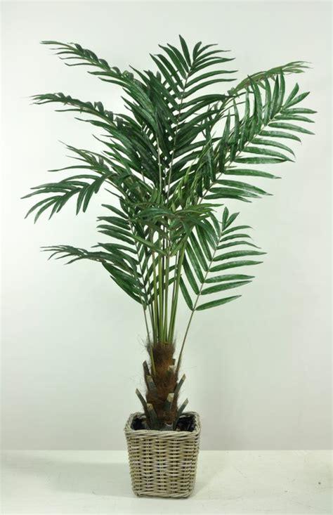 palme zimmerpflanze arten tipps f 252 r die richtige pflege der goldfruchtpalme