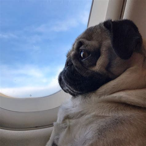 pug airplane doug the pug itsdougthepug