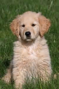 golden retriever cross puppies for sale border collie golden retriever mix puppies for sale