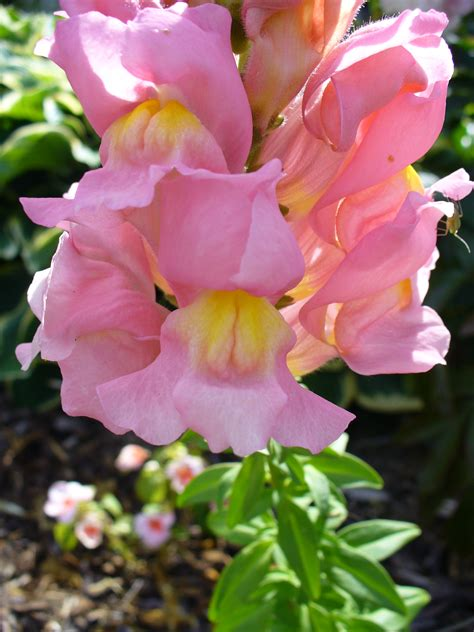 a flower file colourful antirrhinum flower jpg wikimedia commons