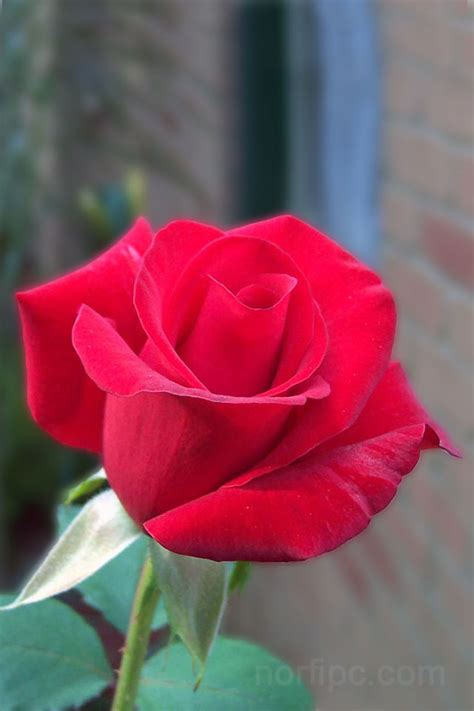 imagenes para celular flores fotos de flores y rosas para fondo de pantalla del celular