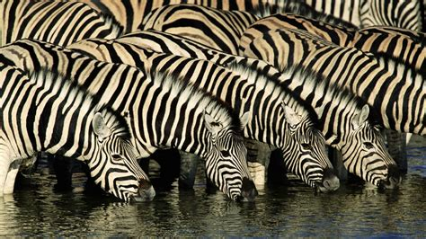 black zebra zebra wallpapers zebra images zebra photos zebra pictures