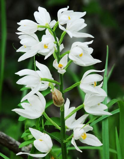 orchidea da giardino l orchidea cefalantera pollicegreen