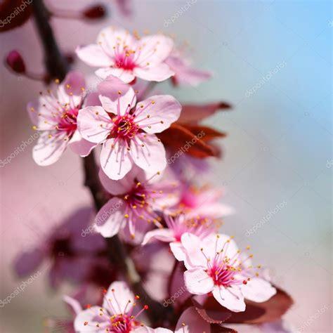fior di ciliegio fiore di ciliegio thevillas co