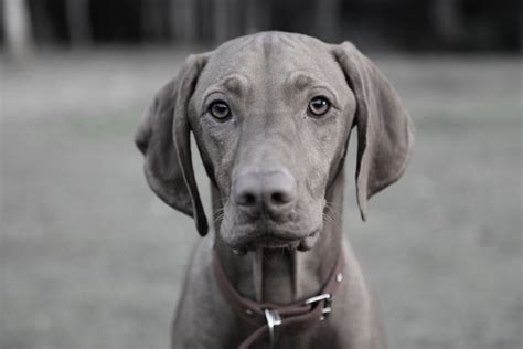 Dogs Grey grey vizsla www pixshark images galleries with a bite