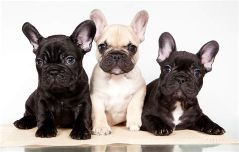 french bulldog c section wallpaper french bulldog trio puppies images for desktop