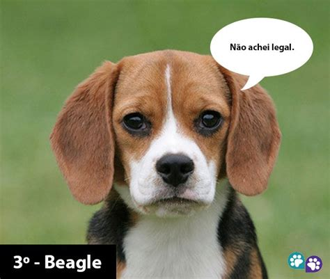 Do Beagle Puppies Shed by 10 Ra 231 As De Cachorros Mais Fedidos Places To Visit