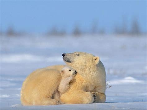 comfort animal polar bear cub finds comfort
