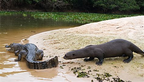 18 Meters To Feet by Giant Otters Hunt Caiman