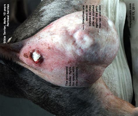 puppy hernia surgery cost 20100619dental scaling health care problems in singapore dogs fistula oronasal dog