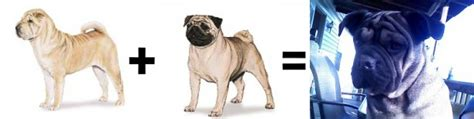 half pug 26 mutt math equations barkpost
