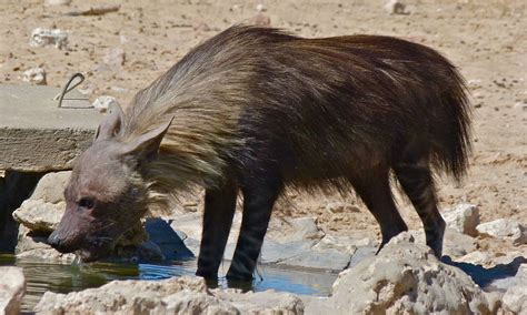 is a hyena a brown hyena