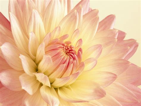 pink and yellow pale pink and yellow dahlia 4205595 1600x1200 all for