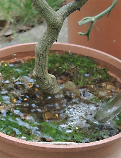 agrumi in vaso irrigare gli agrumi in vaso rivista di agraria org