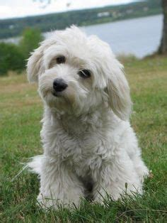 is havanese hypoallergenic 1000 images about bichon havanais on havanese puppies small
