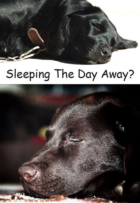 how many hours a day do dogs sleep why does my labrador sleep all day