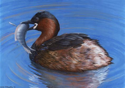 tiny small little grebe emily willoughby art