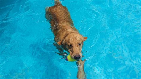 golden retriever puppies calgary calgary dogs celebrate end of summer with a citywide pool abc7