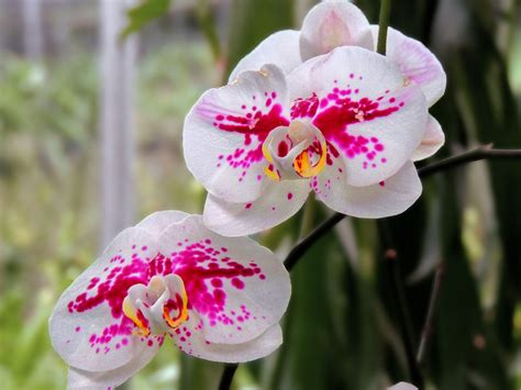 Harga Orchid Florist by Anggrek Bulan E Savitri Flickr