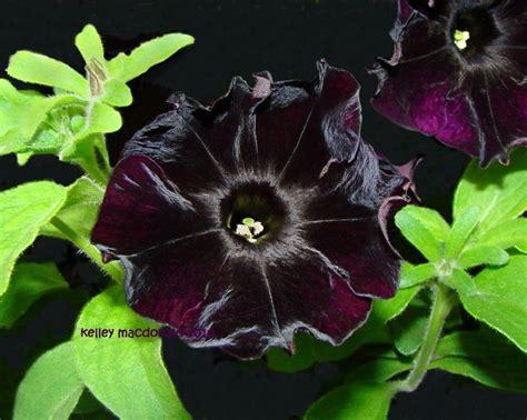 black velvet petunia black flowers pinterest