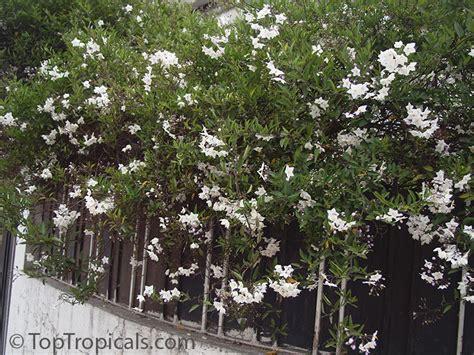 Climbing Plants That Grow In Shade - solanum laxum solanum jasminoides white potato vine jasmine nightshade toptropicals com