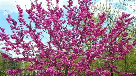 cherry tree zone 4 nine problem solving small trees for small spaces zones 4 7 grow beautifully